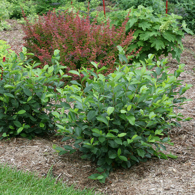 """LOW SCAPE HEDGER® Chokeberry - 4"""" pot - Aronia - Proven Winners"""