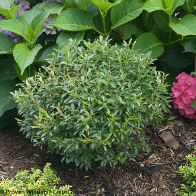 "Gem Box® Inkberry Holly - 4"" pot - Ilex - Proven Winners"