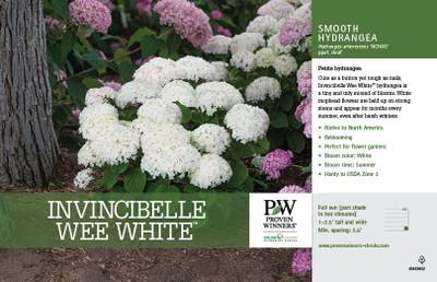 """Invincibelle Wee White® Hydrangea - 4"""" Pot - Proven Winners"""