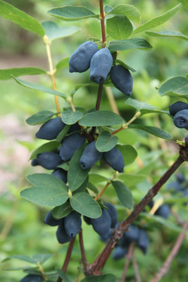 "YEZBERRY HONEY BUNCH® Yezberry - 4"" pot - Japanese Haskap"