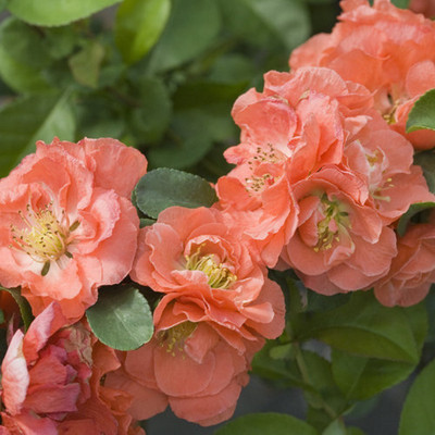 """Double Take™ Chaenomeles Peach - 4"""" pot - Flowering Quince - Proven Winners"""
