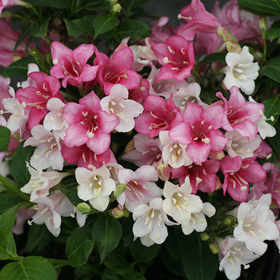 "Czechmark Trilogy™ Weigela - 4"" pot - Proven Winners"