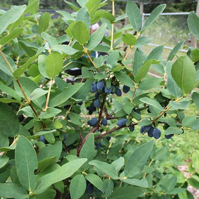 "Yezberry Sugar Pie® - 4"" pot - Lonicera - Japanese Haskap - Proven Winners"