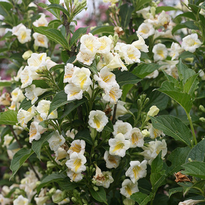 "Czechmark SUNNY SIDE UP ™ Weigela - 4"" pot - Proven Winners"