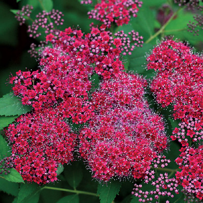 """Double Play® Red Spiraea - 4"""" pot - Proven Winners"""