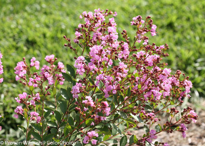 """Infiniti ™ Orchid Crapemyrtle - 4"""" pot - Lagerstroemia - Proven Winners"""