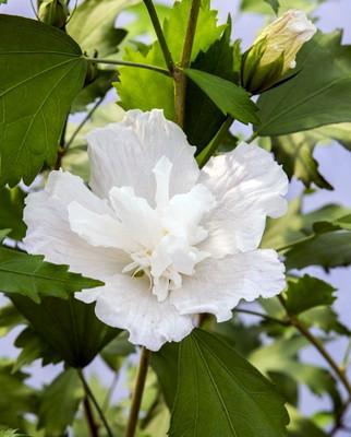 "White Pillar® Hibiscus - 4"" pot - Rose of Sharon - Proven Winners"
