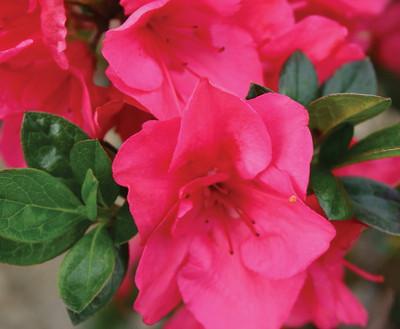 "Hot Pink Bloom-A-Thon®  Everblooming Azalea - 4"" Pot - Proven Winners"