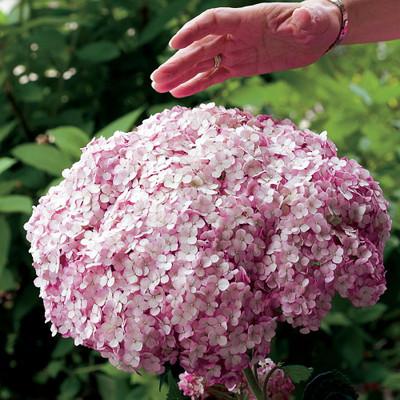 "Incrediball® Blush Hydrangea Perennial - Huge Flowers - 4"" Pot - Proven Winners"