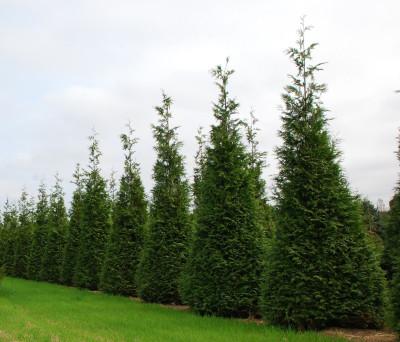 """Green Giant Arborvitae - 4"""" pot - Thuja"""