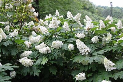 """Snow Queen Oakleaf Hydrangea - 4"""" pot - White Blooms"""