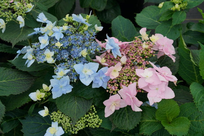"Tuff Stuff Ah-Ha Mountain Hydrangea Bush - Rebloomer - 4"" Pot - Proven Winners"