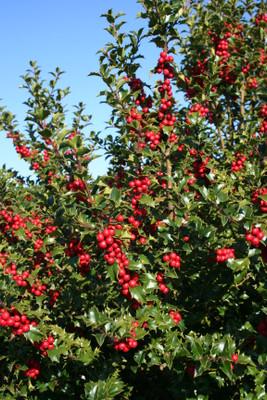 "Red Beauty Holly - 4"" pot - Ilex"