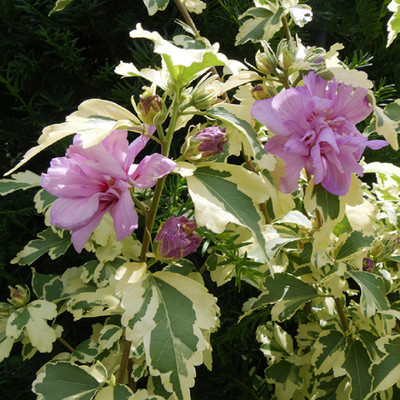 "Sugar Tip® GOLD Rose of Sharon - 4"" Pot - Hibiscus - Proven Winners"