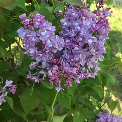 "Scentara® Double Blue Lilac - 4"" pot - Syringa - Proven Winners"