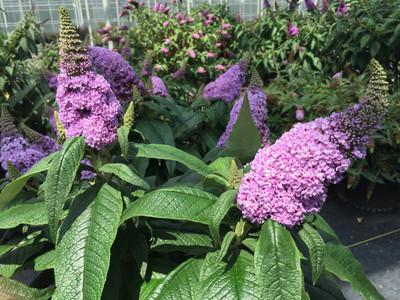 "Pugster® Amethyst Butterfly Bush - 4"" pot - Buddleia"