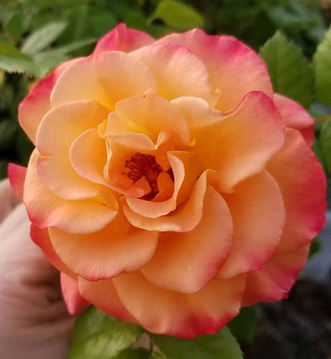 "SUNORITA™ Landscape Rose - 4"" Pot - Proven Winners"