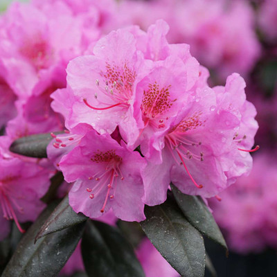 """Black Hat® Rhododendron - Proven Winners - 4"""" Pot"""