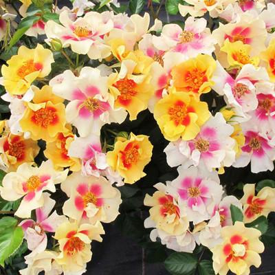 "RINGO™ Landscape Rose - Proven Winners - 4"" Pot"