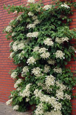 """Climbing Hydrangea Plant - Hydrangea anomala petiolaris - Shade - 4"""" Pot"""