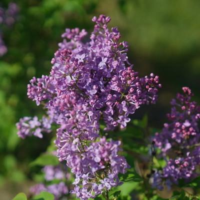 "Scentara Pura® Lilac - Syringa x hyacinthiflora - 4"" Pot"