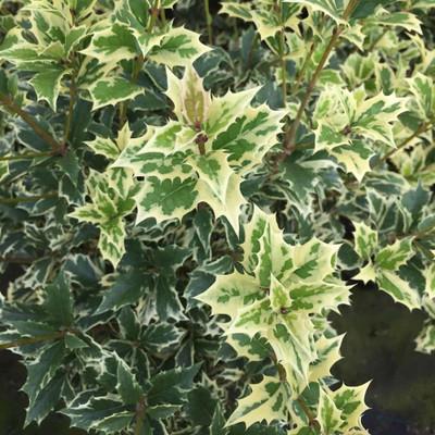 """Olive Holly - Osmanthus heterophyllus - 4"""" Pot"""