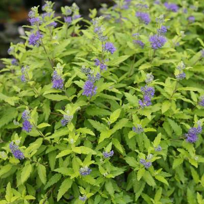 "SUNSHINE BLUE® II Bluebeard - Caryopteris incana - Proven Winners - 4"" Pot"