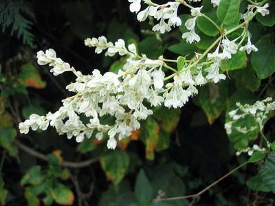 "Silver Lace Vine - Polygonum aubertii - 2.5"" Pot"