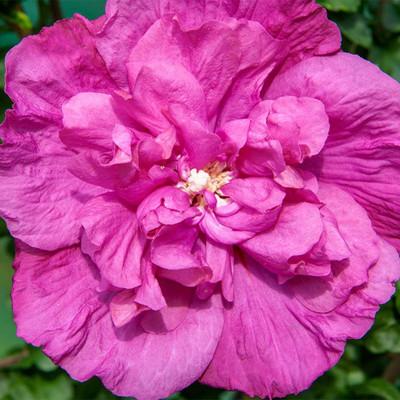 "Magenta Chiffon™ Hibiscus syriacus - Rose of Sharon - 4"" Pot - Proven Winners"