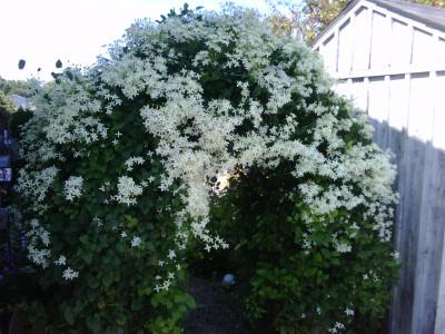 "Sweet Autumn Clematis Vine  - Clematis paniculata - Fragrant - 2.5"" Pot"