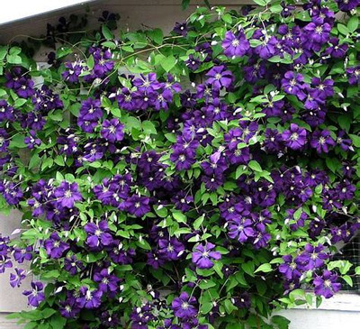 "Jackmani Clematis Vine - Velvety-Purple - 2.5"" Pot"