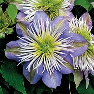 Crystal Fountain 'Evipo038' Clematis - NEW!