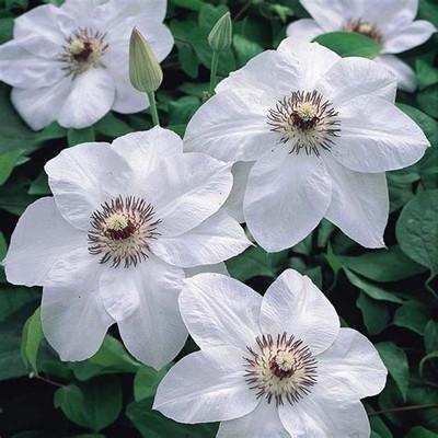 """Miss Bateman Clematis Vine - Pure White - 2.5"""" Pot"""