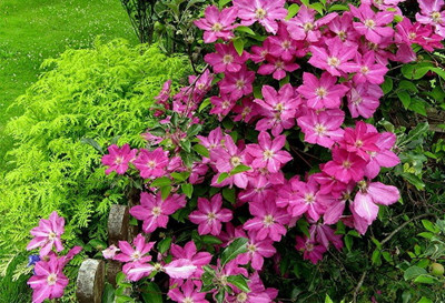 """Sprinkles Clematis - Rosy Lavender with Soft White Bars - 2.5"""" Pot"""