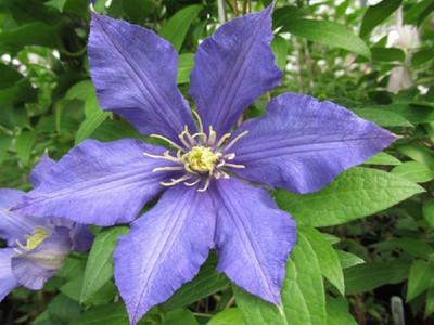 """911 Clematis - 2.5"""" pot - Violet-Blue Flowers"""