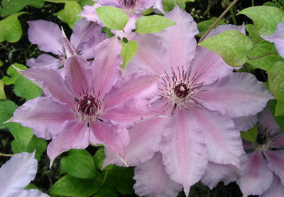 "Mexican Beauty Clematis - 2.5"" Pot"