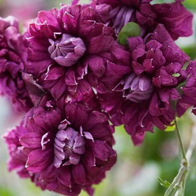 "Viticella Purpurea Plena Elegans Clematis - Double Purplish Red Blooms - 2.5"" Pot"