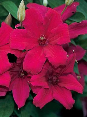 "Cardinal Wyszynski Clematis Vine - Crimson Flowers - 2.5"" Pot"