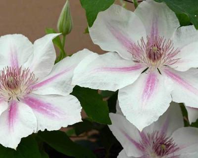 "Corinne ™ Clematis Vine - White Flowers - 2.5"" Pot"
