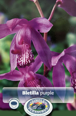 Purple Hardy Orchid - Bletilla striata - 2 Rhizomes/2-3 Eyes - Indoors or Out