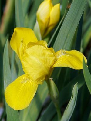 "Brassie Dwarf Bearded German Iris - Golden Yellow - 4"" Pot"