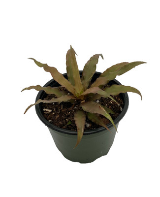"Blackberry Earth Star Plant - Cryptanthus - Easy to Grow - 4"" Pot"