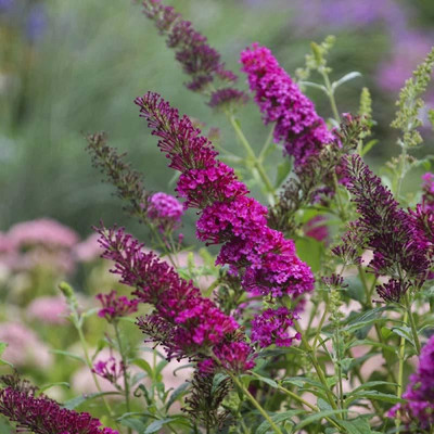 MONARCH® Collection Queen of Hearts Butterfly Bush - Buddleia - Gallon Pot