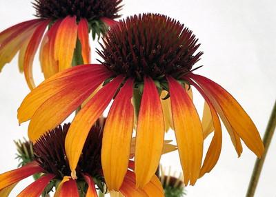 Fiery Meadow Mama Coneflower - Echinacea - Fragrant - Gallon Pot