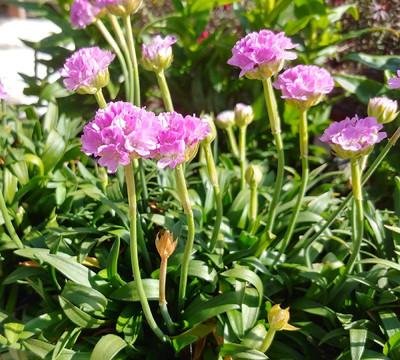 Dreameria® Sweet Dreams Armeria - Sea Thrift Perennial - Quart Pot