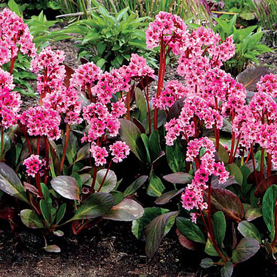 DRAGONFLY™ Sakura - Bergenia - Gallon Pot - Hardy Perennial Plant