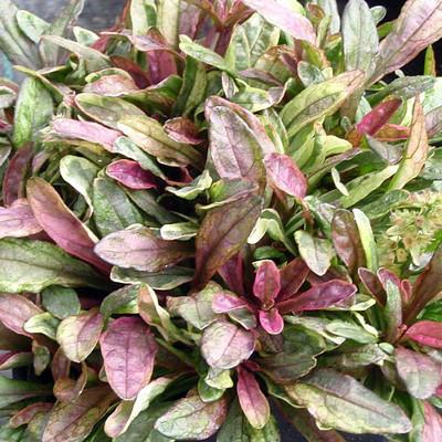 Dixie Chip Ajuga - Carpet Bugle - Leaves of Green/Cream/Rose - Quart Pot