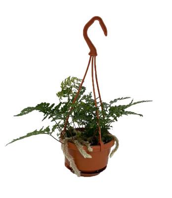 "White Rabbit's Foot Fern - 4"" Mini Hanging Basket - Davallia tyermanni"