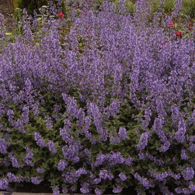 Purrsian Blue Catmint Perennial - Nepeta - Gallon Pot