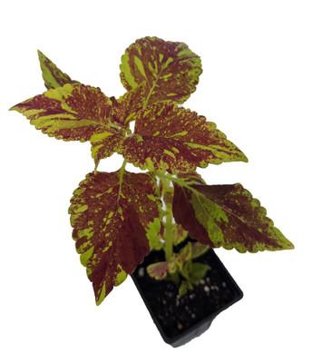 "Cranberry Salad Solenostemon/Coleus - Vibrant Foliage - 2.5"" Pot - Easy to Grow"